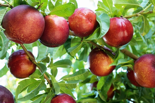 15 1324 QFM Fruits 0036