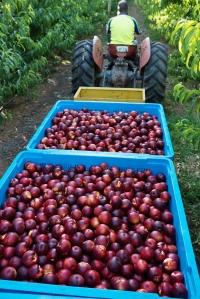 15 1324 QFM Fruits 0103