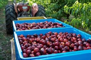 15-1324-qfm-fruits-0108